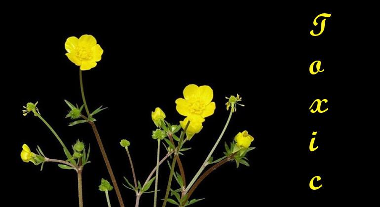 Rośliny trujące cz. 1