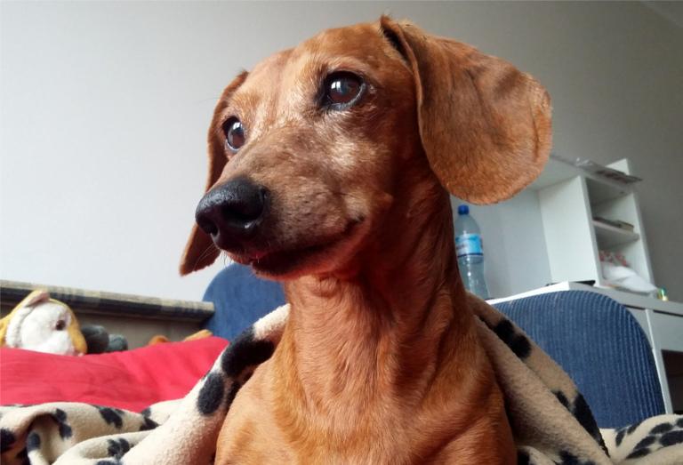 jamnik, pies, na kanapie