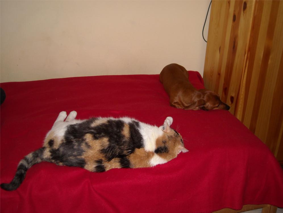 w domu, pies, psy, na kanapie, siedzi, świnka morska, kot