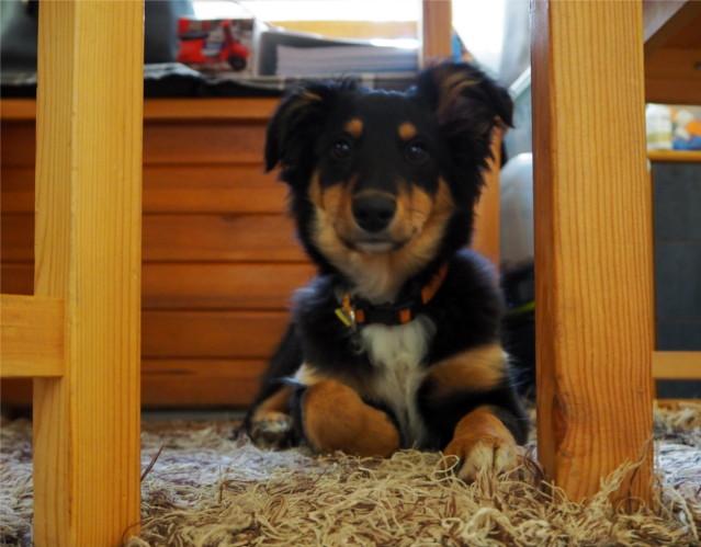 szczeniaka, pies, psy, na kanapie. Iggy, Freya