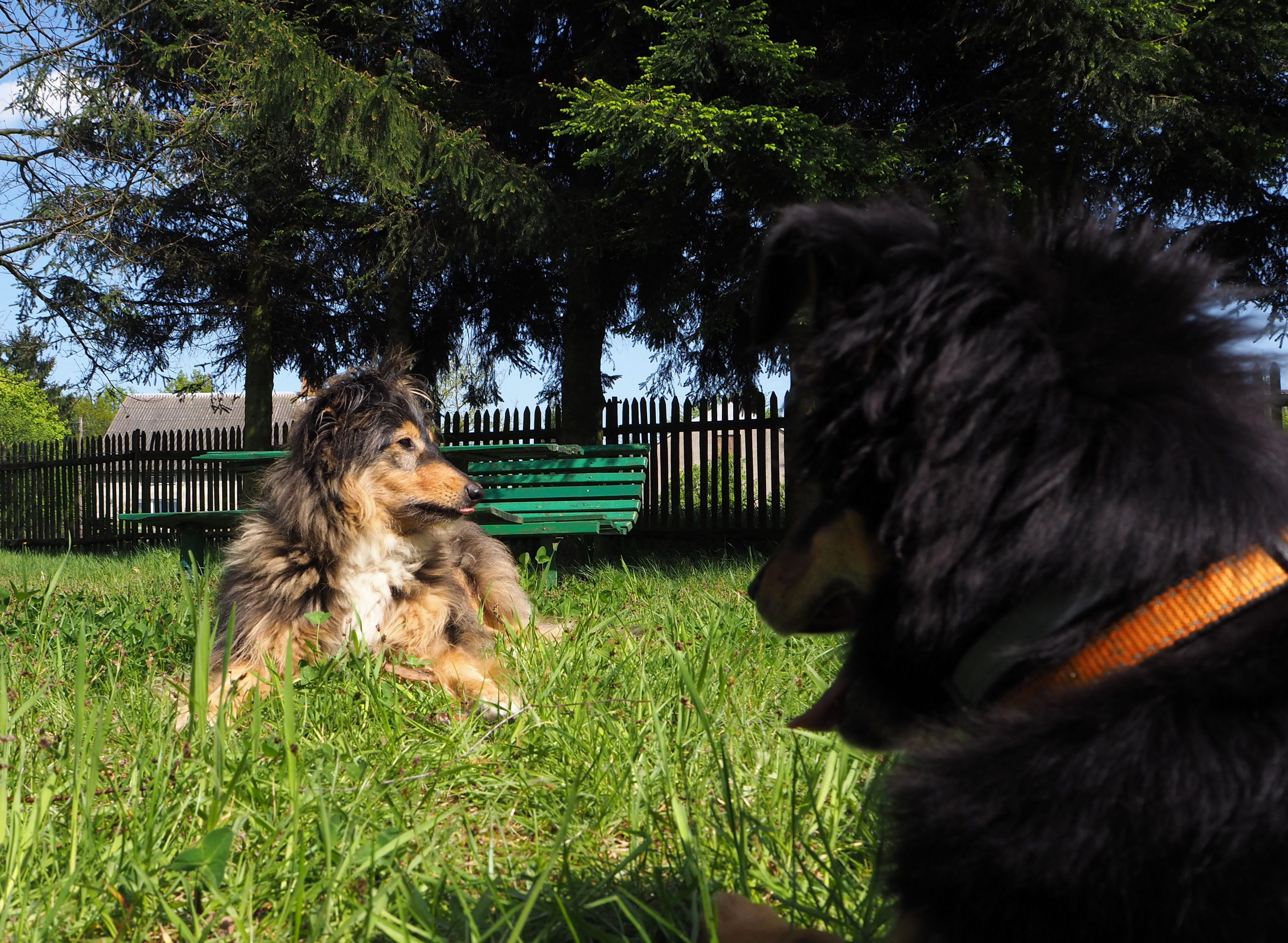 nieudana adopcja, pies, psy