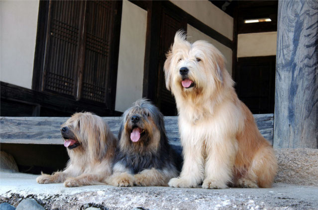 rasy z Korei, pies, psy, rasy psów, pies rasowy, Korea. Azja, pies w Azji, pies w Korei