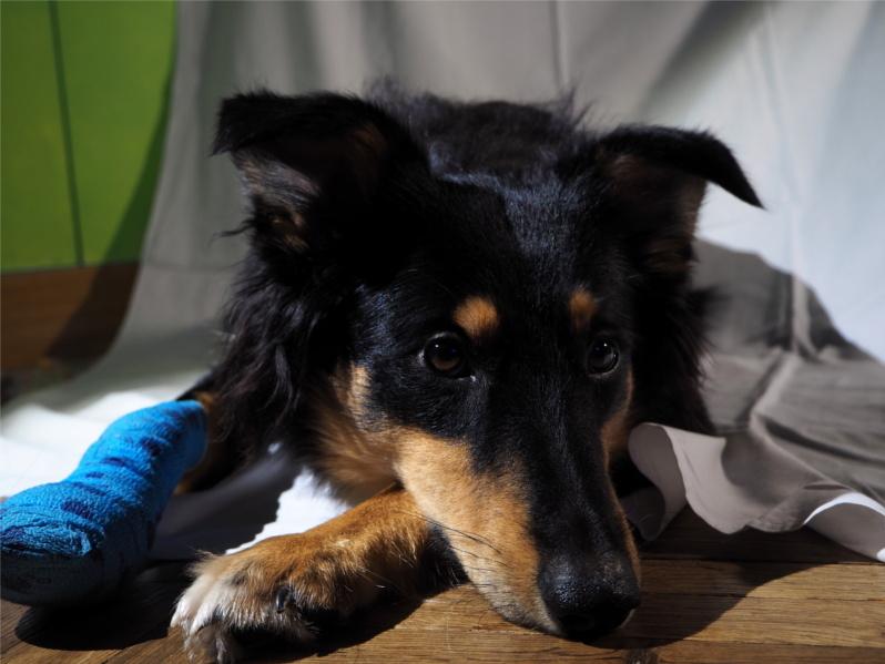 tasiemiec, zdrowie psa, choroby psa,
