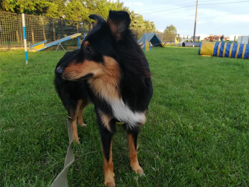 pregility, agility, psi sport, trening psa, szkolenie psa,