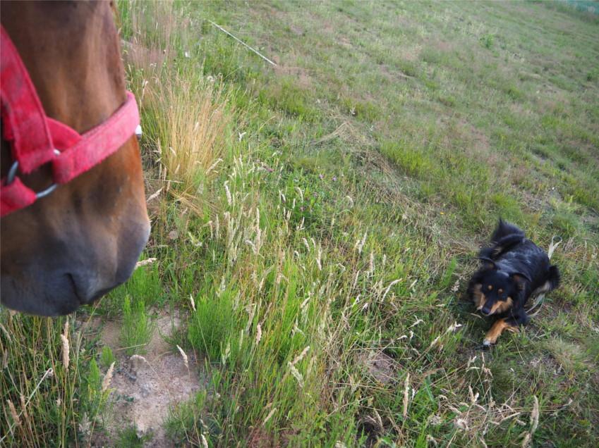 socjalizacja z koniem, pies i koń, szkolenie psa