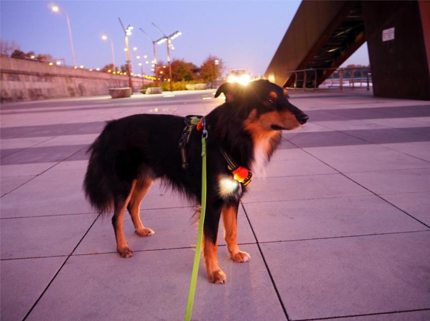czy jesteś widoczny, bezpieczny pies, psie akcesoria, spacer z psem
