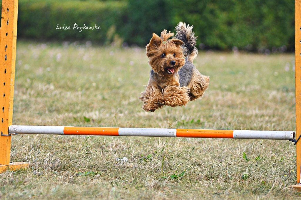agility, wywiad, psie sporty, york